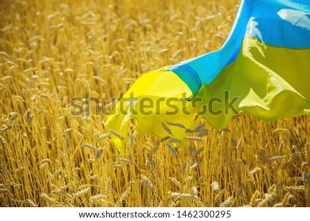 flag of Ukraine is blue-yellow lying on ripe wheat. Yellow wheat field in Ukraine. Independence Day of Ukraine, flag day. #1462300295