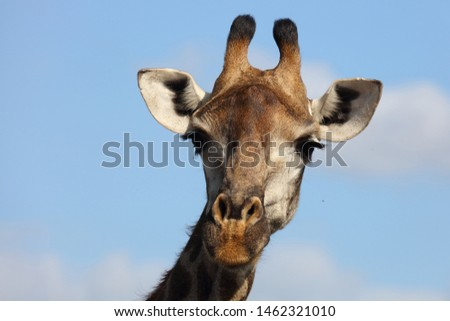 Giraffe / Giraffe / Giraffa Camelopardalis #1462321010