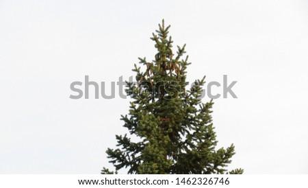 Pine tree with pine cones #1462326746