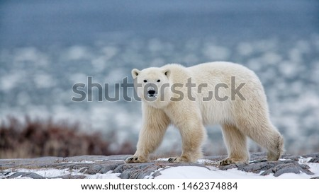 northern Ellesmere Island/Canada-01/21/2019.  photo of polar bear in Canada  #1462374884