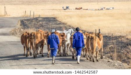Bergville, South Africa - July 19, 2019: Two unidentified Basotho herdsman drive a small herd of cattle along a dusty farm road image in landscape format #1462542587