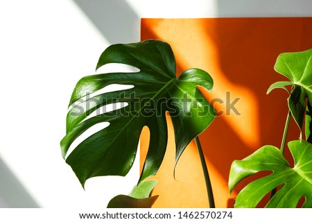 Beautiful leaves of Monstera against the background of orange and white wall. Monstera in a modern interior. Flowers in the interior. Minimalism concept. Background for the site Royalty-Free Stock Photo #1462570274
