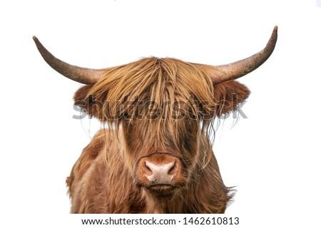 Highland cow on white background headshot #1462610813