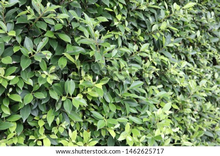 Green leaves are walls in garden  #1462625717