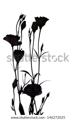 Eustoma flowers silhouette isolated on a white background