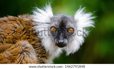 Black Lemur, female (Eulemur macaco) with dark background
