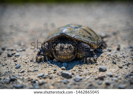Snapping Turtle Up Close Crossing a gravel road #1462865045