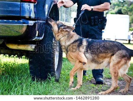 Police K9 working dog demo, narcotics search and criminal apprehension training, Belgian Malinois German Shepherd canine cop #1462891280