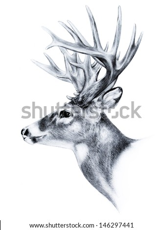 A white tail deer with big trophy antlers in a side view sketch of a very large bucks head. This animal illustration is hand drawn and on a white background.