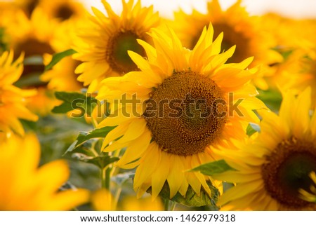 Close up picture of bright yellow sunflower surrounded by countless other sunflowers in endless field in the countryside