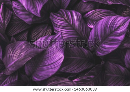 The leaves of Spathiphyllum cannifolium, abstract, dark purple surface, natural background, tropical leaves #1463063039