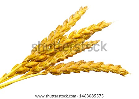 a bright closeup of a bunch of golden ripe dinkel hulled wheat Spelt Spelt (Triticum spelta dicoccum) rye grain relict crop health food ready for harvest isolated on white #1463085575
