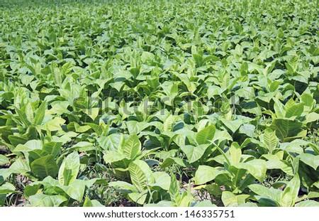 Tobacco plantation in Poland  #146335751