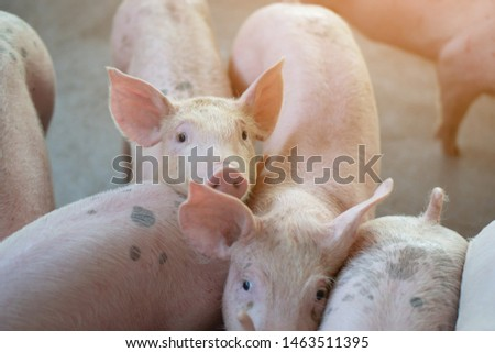 Group of pig that looks healthy in local ASEAN pig farm at livestock. The concept of standardized and clean farming without local diseases or conditions that affect pig growth or fecundity #1463511395