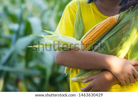Daughter of Farmer holding fresh corn cob at field. Agricultural inspecting quality of ripe corn. Harvest season to make money. Planters concept. #1463630429