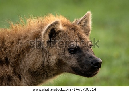 Hyena close up portrait picture
