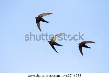 common swift (Apus apus) in flight #1463746283