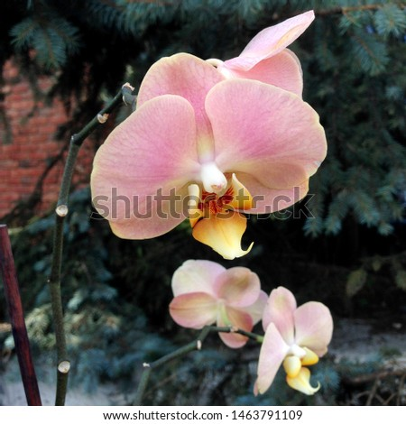 Photo flower bud of a pink orchid.  Beauty blooming orchid with pink petals.