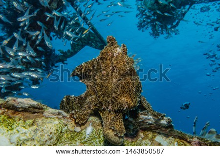 Frog fish in the Red Sea Colorful and beautiful, Eilat Israel  #1463850587