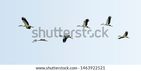 Asian White colored Open billed stork, Anastomus oscitans, India white stork, a large wading bird in the stork family Ciconiidae and generic for all herons and storks flying in flock. #1463922521