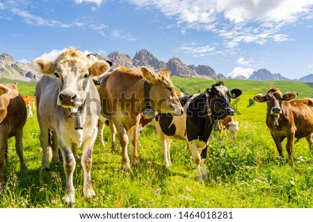 Idyllic landscape with herd of cow grazing on green field with fresh grass under blue peaceful sky in Alps #1464018281