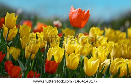 Red tulip flower bloom on background of blurry yellow tulips in tulips garden. Spring flowers Tulips. #1464143177