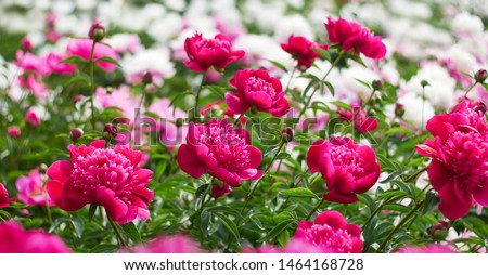 Pink peonies flower bloom on background of blurry white peonies in peonies garden.