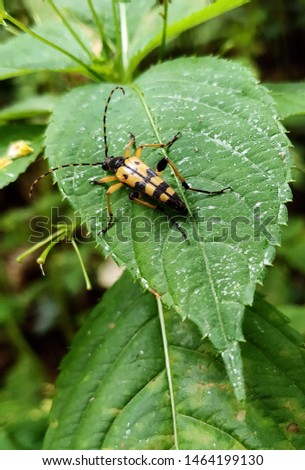 the spotted longhorn on the leaf #1464199130
