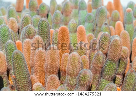 Beautiful abstract, close up view of CACTUS plants. Nature macro shot. Close up details of thorns, bokeh background. Galapagos islands. Green and orange colour. Copyspace #1464275321
