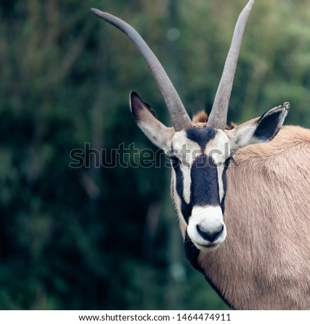 Half picture of the African Pinbuck or Oryx Gazelle, scientific name Oryx gazella