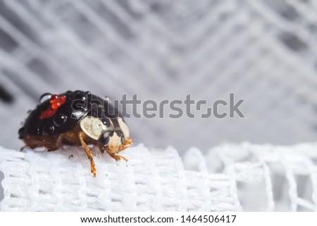 japanese ladybug macrophotography wild life #1464506417