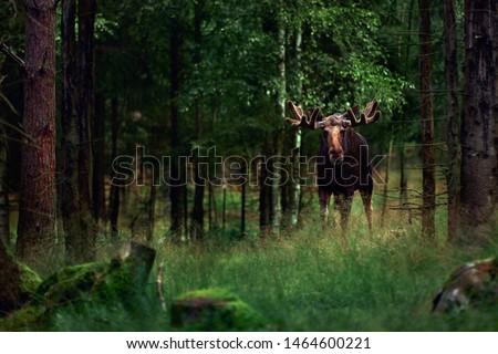 Big male Bull moose (Alces alces) in deep forest of Sweden. Big animal in the forest. Elk symbol of Sweden #1464600221