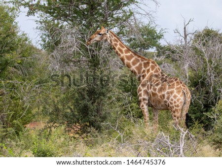 Giraffe standing in the savannah grass at the Etosha National park in northern Namibia during summer #1464745376