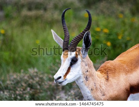 Close up picture of a Springbok the savannah grass of the Etosha National park in northern Namibia during summer