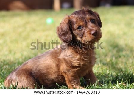 Beautiful long haired dapple Dachshund puppy #1464763313