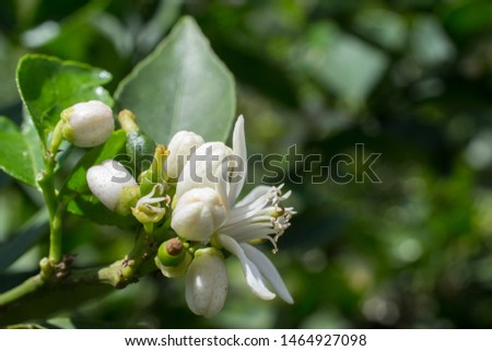 lemon tree blossom on its tree, flower open and in buds, in the afternoon light with its leaves in the background #1464927098
