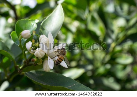 lemon tree flower on its tree, flower open and in buds, with the presence of a bee #1464932822