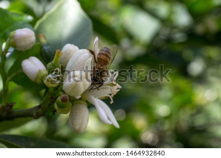 lemon tree flower on its tree, flower open and in buds, with the presence of a bee #1464932840