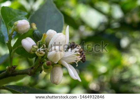 lemon tree flower on its tree, flower open and in buds, with the presence of a bee #1464932846