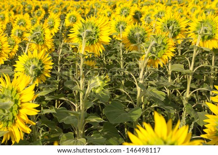 beautiful flowers of sunflowers on nature #146498117