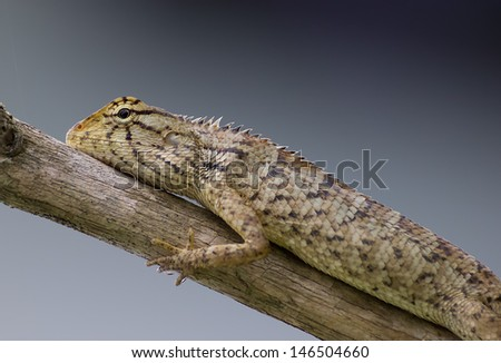 Skink  on a branch #146504660