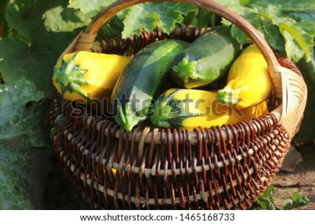 Harvesting zucchini. Fresh squash lying in basket. Fresh squash picked from the garden. Organic food concept . #1465168733