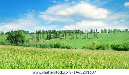 Green field with corn. Blue cloudy sky. Agricultural landscape.Wide photo. #1465201637