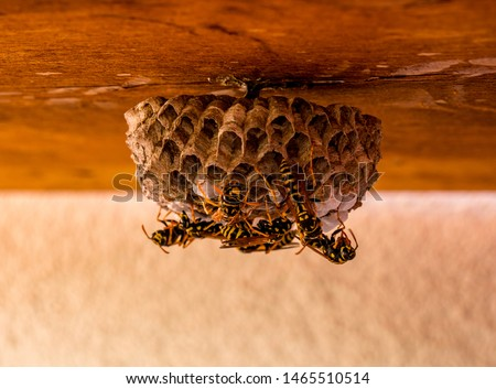 Close up of wasp nest with a few wasps(Vespula vulgaris) on its surface. One of the wasp-workers processing new material(right - standing only on hind legs). #1465510514