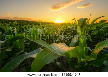 Young green corn growing on the field at sunset. Young Corn Plants. Corn grown in farmland, cornfield. Royalty-Free Stock Photo #1465521215