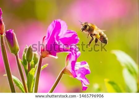 Closeup of a western honey bee or European honey bee (Apis mellifera) feeding nectar of pink great hairy willowherb Epilobium hirsutum flowers  #1465796906