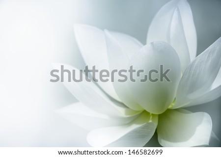 Closeup on lotus petal with copyspace