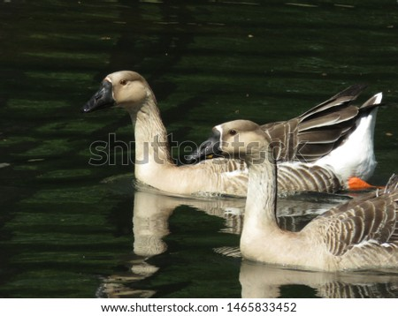 two goose swin in the water #1465833452