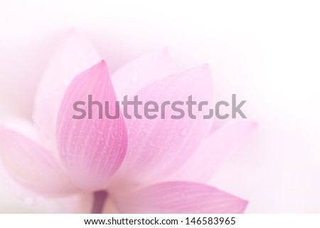 Closeup on lotus petal,Shallow Dof.