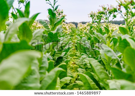 Flowering tobacco plants on tobacco field background. Tobacco rows, close up #1465889897